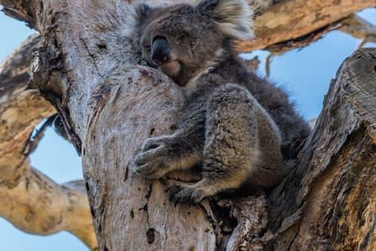 Sleeping koala in a tree